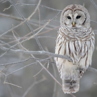 White Owl Tree Wallpapers