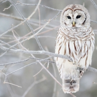 White Owl Wallpapers