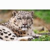 White Snow Leopard Wallpapers