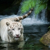 Download white tiger beautiful wallpapers, white tiger beautiful wallpapers Free Wallpaper download for Desktop, PC, Laptop. white tiger beautiful wallpapers HD Wallpapers, High Definition Quality Wallpapers of white tiger beautiful wallpapers.