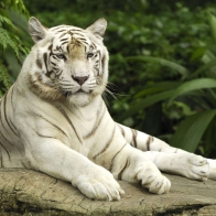 White Tiger Singapore Wallpapers