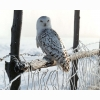 White Winter Owl Hd Wallpapers