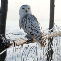 White Winter Owl Wallpapers