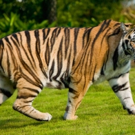 Widescreen Tiger Wallpapers