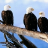 Download wild and  bald eagles wallpapers, wild and  bald eagles wallpapers Free Wallpaper download for Desktop, PC, Laptop. wild and  bald eagles wallpapers HD Wallpapers, High Definition Quality Wallpapers of wild and  bald eagles wallpapers.