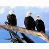 Wild And Free Bald Eagles Wallpapers