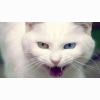 Wild White Cat Wallpapers