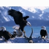 Wings Extended Bald Eagles Wallpapers