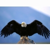Wingspan Bald Eagle Wallpapers