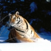 Download wintery scuddle siberian tiger wallpapers, wintery scuddle siberian tiger wallpapers Free Wallpaper download for Desktop, PC, Laptop. wintery scuddle siberian tiger wallpapers HD Wallpapers, High Definition Quality Wallpapers of wintery scuddle siberian tiger wallpapers.