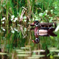 Wood Duck Hd Wallpapers