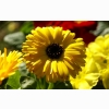 Yellow Calendula Pot Marigold