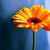 Download yellow daisy, yellow daisy  Wallpaper download for Desktop, PC, Laptop. yellow daisy HD Wallpapers, High Definition Quality Wallpapers of yellow daisy.