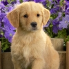 Download yellow labrador puppy wallpapers, yellow labrador puppy wallpapers Free Wallpaper download for Desktop, PC, Laptop. yellow labrador puppy wallpapers HD Wallpapers, High Definition Quality Wallpapers of yellow labrador puppy wallpapers.