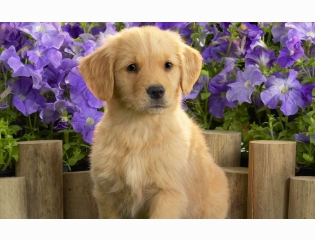 Yellow Labrador Puppy Wallpapers