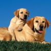 Download yellow labradors wallpapers, yellow labradors wallpapers Free Wallpaper download for Desktop, PC, Laptop. yellow labradors wallpapers HD Wallpapers, High Definition Quality Wallpapers of yellow labradors wallpapers.