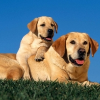 Yellow Labradors Wallpapers