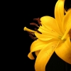 Download yellow lily flower, yellow lily flower  Wallpaper download for Desktop, PC, Laptop. yellow lily flower HD Wallpapers, High Definition Quality Wallpapers of yellow lily flower.
