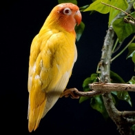Yellow Parrot Wallpapers