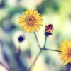 Download yellow spring daisy, yellow spring daisy  Wallpaper download for Desktop, PC, Laptop. yellow spring daisy HD Wallpapers, High Definition Quality Wallpapers of yellow spring daisy.