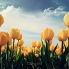Download yellow tulips, yellow tulips  Wallpaper download for Desktop, PC, Laptop. yellow tulips HD Wallpapers, High Definition Quality Wallpapers of yellow tulips.