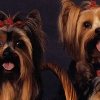 Download yorkshire terriers cover, yorkshire terriers cover  Wallpaper download for Desktop, PC, Laptop. yorkshire terriers cover HD Wallpapers, High Definition Quality Wallpapers of yorkshire terriers cover.