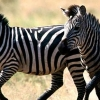 Download zebras cover, zebras cover  Wallpaper download for Desktop, PC, Laptop. zebras cover HD Wallpapers, High Definition Quality Wallpapers of zebras cover.