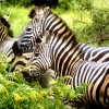 Download zebras wallpapers, zebras wallpapers Free Wallpaper download for Desktop, PC, Laptop. zebras wallpapers HD Wallpapers, High Definition Quality Wallpapers of zebras wallpapers.