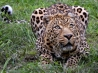 african leopard wallpapers