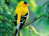 american goldfinch hd wallpapers