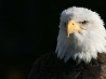 bald eagle hd wallpapers new 13