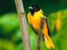 baltimore oriole hd wallpapers