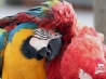 best friends macaws wallpapers