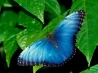 blue morpho wallpapers
