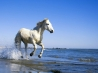 camargue white horse wallpapers