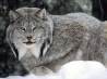 canadian lynx wallpapers