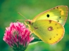 colias hyale butterfly wallpapers