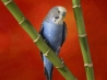 colorful budgerigar wallpapers