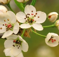 crabapple blossoms in spring