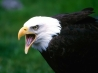 eagle hd wallpapers new 3