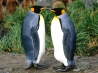 king penguins wallpapers