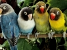 lovebirds wallpapers
