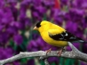 male american goldfinch wallpapers
