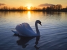 mute swan wallpapers