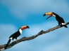 pete and repeat toco toucans hd wallpapers