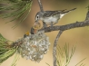 plumbeous vireo mother with hungry chicks white mountains arizona hd wallpapers