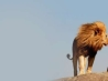 real life lion king cover