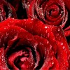Download red roses 6, red roses 6  Wallpaper download for Desktop, PC, Laptop. red roses 6 HD Wallpapers, High Definition Quality Wallpapers of red roses 6.