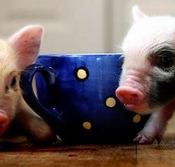 teacup pigs cover