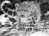 the snow leopard wallpapers